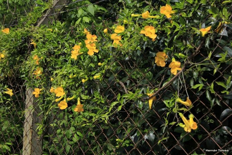 Cytisus scoparius - Scotch broom