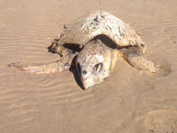 NT Helps WA Unlock Vital Turtle Data