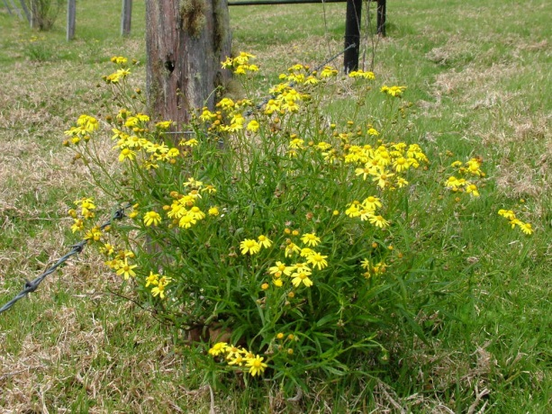 Senecio madagascariensis – Fireweed