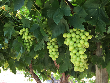 Irrigated grapes near Ti Tree