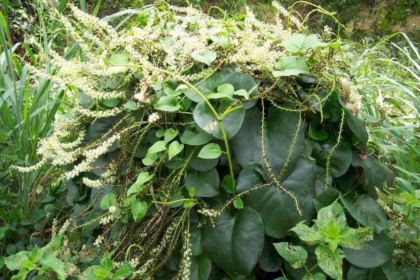 Anredera cordifolia – Madeira vine