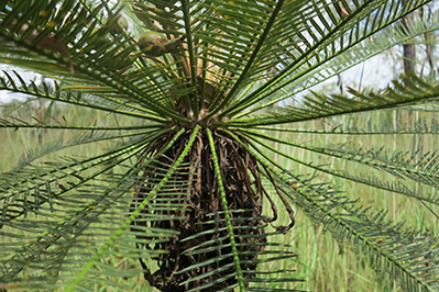 Cracking the Code of Cycads